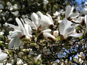 Kobushi Magnolie Baum Bluete weiss Magnolia kobus 09