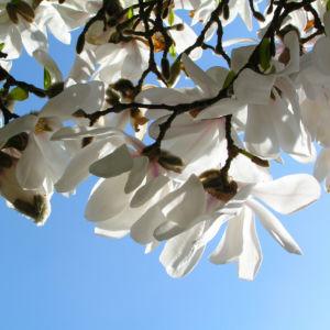 Kobushi Magnolie Baum Bluete weiss Magnolia kobus 10