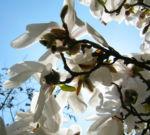 Kobushi Magnolie Baum Bluete weiss Magnolia kobus 12