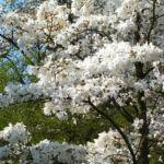 Kobushi Magnolie Baum Bluete weiss Magnolia kobus 13