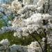 Zurück zum kompletten Bilderset Kobushi-Magnolie Blüte weiß Magnolia kobus