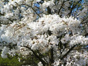 Kobushi Magnolie Baum Bluete weiss Magnolia kobus 15