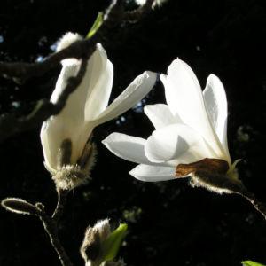 Kobushi Magnolie Baum Bluete weiss Magnolia kobus 16