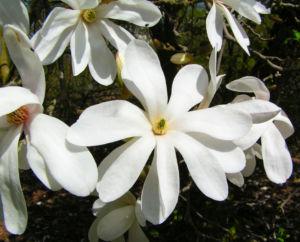 Kobushi Magnolie Baum Bluete weiss Magnolia kobus 17