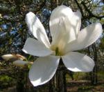 Kobushi Magnolie Baum Bluete weiss Magnolia kobus 19