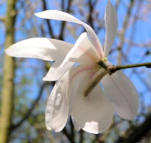 Kobushi Magnolie Baum Bluete weiss Magnolia kobus 21