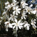 Kobushi Magnolie Baum Bluete weiss Magnolia kobus 22