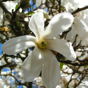 Kobushi Magnolie Baum Bluete weiss Magnolia kobus 23