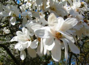 Kobushi Magnolie Baum Bluete weiss Magnolia kobus 24