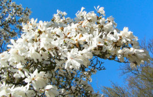 Kobushi Magnolie Baum Bluete weiss Magnolia kobus 25
