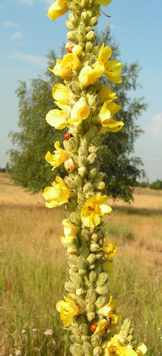 Koenigs Kerze Bluete gelb Verbascum densiflorum