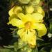 Zurück zum kompletten Bilderset Großblütige Königskerze Blüte gelb Verbascum densiflorum