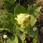 Koenigs Kerze Bluete gelb Verbascum densiflorum 05