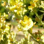 Koenigskerze Bluete gelb Verbascum lychnitis 04