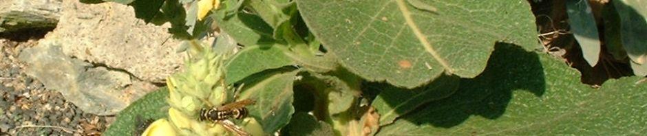 kleinbluetige-koenigskerze-bluete-gelb-verbascum-thapsus