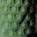 Koestliches Fensterblatt Blatt Kolben gruen Monstera deliciosa 03