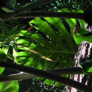 Koestliches Fensterblatt Blatt Kolben gruen Monstera deliciosa 13