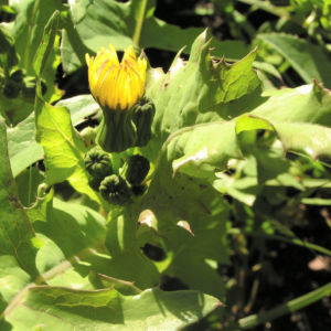 Kohl Gaensedistel Bluete gelb Sonchus oleraceus 01