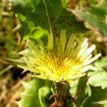 Bild: Gemüse-Gänsedistel Blüte gelb Sonchus oleraceus