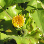 Kohl Gaensedistel Bluete gelb Sonchus oleraceus 05