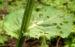 Zurück zum kompletten Bilderset Kohl-Kratzdistel Blüte gelblich Blatt grün Cirsium oleraceum