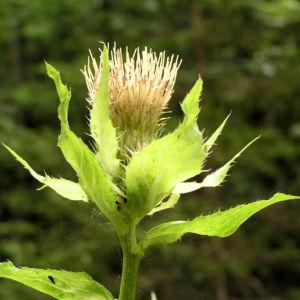 Kohl Kratzdistel Cirsium oleraceum 05