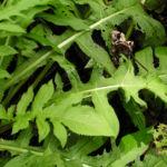 Kohl Kratzdistel Cirsium oleraceum 06