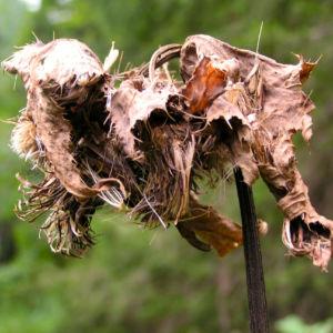 Kohl Kratzdistel Cirsium oleraceum 08