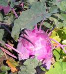 Kohlrabi Ruebe dunkel lila Brassica oleracea 02