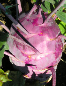 Kohlrabi Ruebe dunkel lila Brassica oleracea 04
