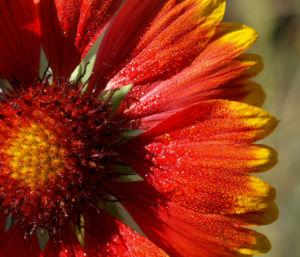 Bild: Kokardenblume Bluete rot gelb Gaillardia aristata