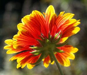 Kokardenblume Bluete rot gelb Gaillardia aristata 02