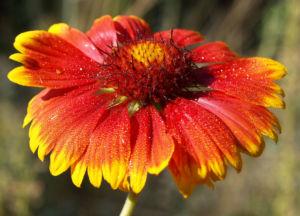 Kokardenblume Bluete rot gelb Gaillardia aristata 03