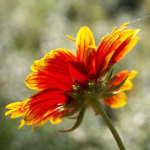 Kokardenblume Bluete rot gelb Gaillardia aristata 04