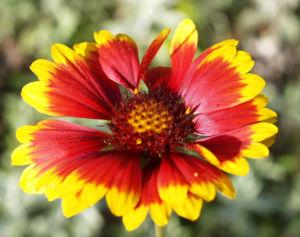 Image: Kokardenblume Bluete rot gelb Gaillardia aristata