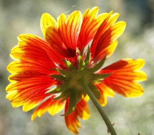 Kokardenblume Bluete rot gelb Gaillardia aristata 06