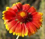 Kokardenblume Bluete rot gelb Gaillardia aristata 07