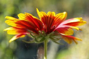Kokardenblume Bluete rot gelb Gaillardia aristata 08