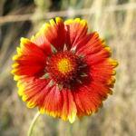 Kokardenblume Bluete rot gelb Gaillardia aristata 09