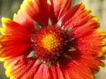 Kokardenblume Bluete rot gelb Gaillardia aristata 10
