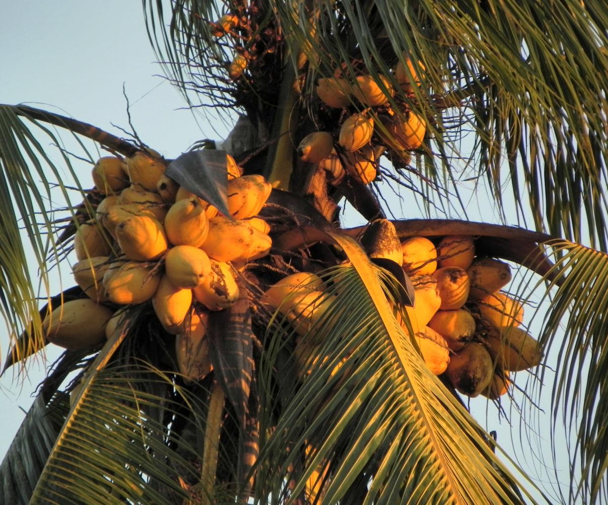 Kokospalme Kokosnuss gelb braun Cocos nucifera