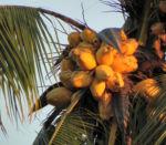 Kokospalme Kokosnuss gelb braun Cocos nucifera 05