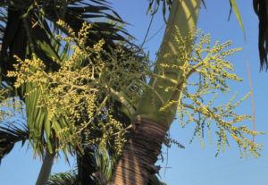 Kokospalme Kokosnuss gelb Cocos nucifera 11
