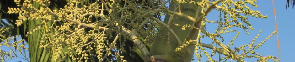 kokospalme-kokosnuss-gelb-braun-cocos-nucifera