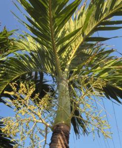 Kokospalme Kokosnuss gelb Cocos nucifera 17
