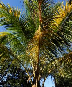 Kokospalme Palmwedel gruen Cocos nucifera 01