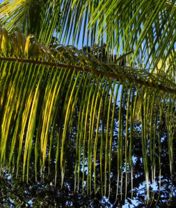 Kokospalme Palmwedel gruen Cocos nucifera 02