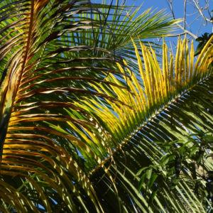 Kokospalme Palmwedel gruen Cocos nucifera 03