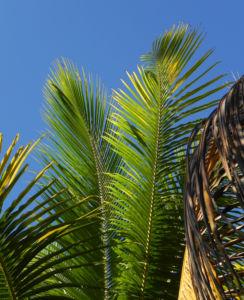 Kokospalme Palmwedel gruen Cocos nucifera 04