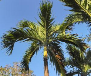 Kokospalme Palmwedel gruen Cocos nucifera 06